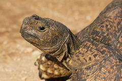 A close up of a Leopard tortoise. In addo park,south africa Royalty Free Stock Photography