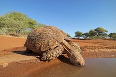 Close-up of a leopard tortoise drinking water stock image