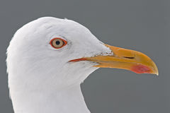 Close-up of Lesser Black-backed Gull (Larus fuscus) Stock Image