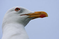Close-up of Lesser Black-backed Gull (Larus fuscus) Stock Photo
