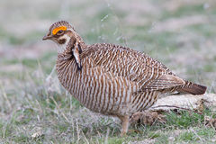 Close-up of Lesser prairie chicken Stock Photography