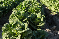 Close Up Lettuce Growing on Farm Southern California Royalty Free Stock Photo