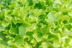 Close up of Lettuce growing in in hydroponics farm Stock Image