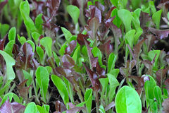 Close up of lettuce seedlings growing Stock Photos