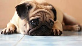 Close-up leuke pug hond op de vloer stock videobeelden