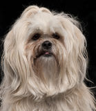 Close-up of Lhasa Apso, 2 and a half years old Stock Photography
