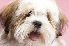 Close Up Of Lhasa Apso Dog Royalty Free Stock Images