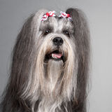 Close-up of Lhasa Apso wearing hairbows Royalty Free Stock Images