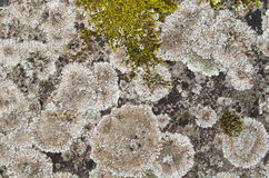 Close up a lichen on a stone, a background Stock Images