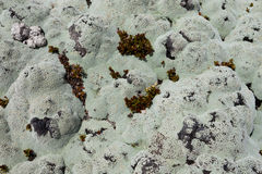Close up of lichens commonly called rock moss Royalty Free Stock Photography
