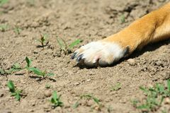 Close Up of Light Colored Puppy Paw. Background royalty free stock photography