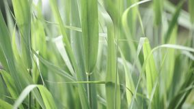Close up of light green grass against blue sky. Bright green grass in the sunny day. Close-up. Long green grass in stock footage