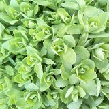 Close-up of light green rosettes of decorative cabbage leaves. royalty free stock images