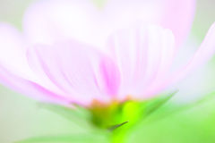 Close up of light pink cosmos flower on field Stock Photo