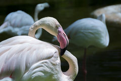 Close up of a light pink flamingo Phoenicopterus ruber Royalty Free Stock Photography