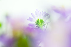 Close up of light purple daisy in soft style Stock Photo