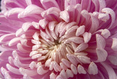 Close-up of light red Chrysanthemum Flower. Many water drops can be seen in the flower petal,photo taken in early morning in autumn in China Royalty Free Stock Photography