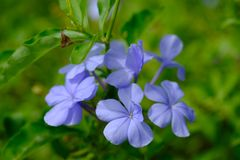 Close up light violet flower with green leaves. For background stock photos
