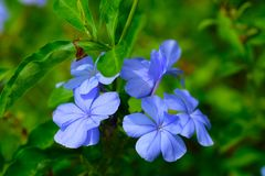 Close up light violet flower with green leaves. For background royalty free stock photo
