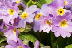 Close-up of a light-violet inflorescence of the Caucasian primrose Primula denticulata after melting snow stock photo