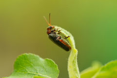 Close up of lighting bug Royalty Free Stock Image