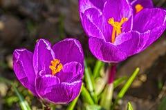 Close-up lilás dos açafrões em um canteiro de flores no jardim Fotos de Stock Royalty Free