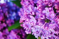 Close-up lilás, ramos, no sol imagens de stock