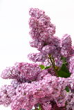 Close up lilac. On white background Stock Photos
