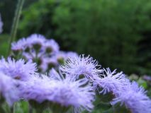 Ageratum: Lilac Fuzzies in the Garden royalty free stock images