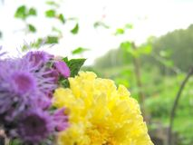 Ageratum and Tagetes: Bright Colors of the Summer stock photos