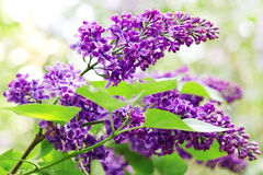 Close up of lilac branches Stock Photography
