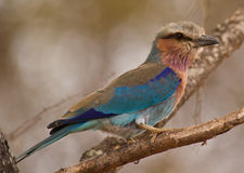 Close-up of a Lilac-breasted Roller Royalty Free Stock Photos