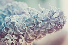 Close-up of lilac Royalty Free Stock Photo