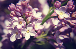 Close up of Lilac flower in spring Stock Photos