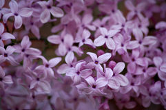 Close up of lilac flowers. Close up of pink lilac flowers in spring Stock Image