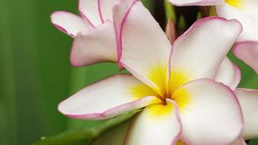Close up of lilac frangipani or plumeria flower with some drops after tropical rain, shallow depth of field stock footage