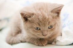 Close-up Lilac Kitten Stock Photos