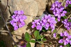 Close-up of Lilac Lantana Camara Flowers, Nature, Macro royalty free stock image