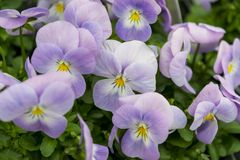 Close-up lilac pansies in spring Stock Photo