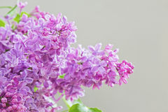 Close-up of lilac Stock Images