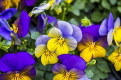Close-up lilac and yellow pansies in spring Stock Photography