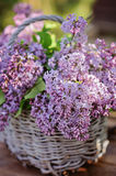 Close up of lilacs in basket in spring garden Stock Image