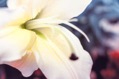 Close up Lilly flower with softness style Stock Image