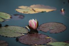 Close up on lilly flower on water Royalty Free Stock Photo