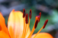 Close-up of  lily Stock Images