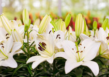 Close-up of Lily flowers from Keukenhof Stock Photo