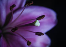 Close up of a Lily. A macro shot of a Lily Stock Images