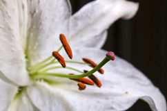 Close up of a Lily. Macro shot of a lily Flower Royalty Free Stock Photography