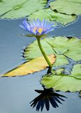 Lily Pad Flower Stock Photo
