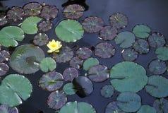 Close up of Lily pads, Huntington Gardens, Pasadena, CA Stock Photos